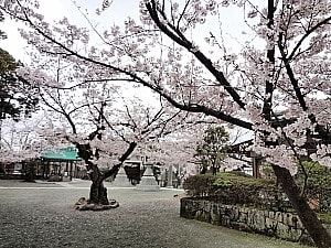 境内の見事な桜
